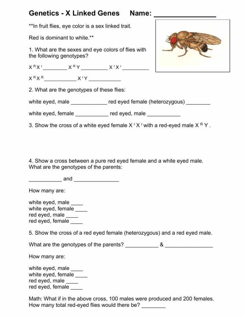 Genetics X Linked Genes Worksheet Lovely Worksheet Genetics X Linked Genes Worksheet Grass Fedjp