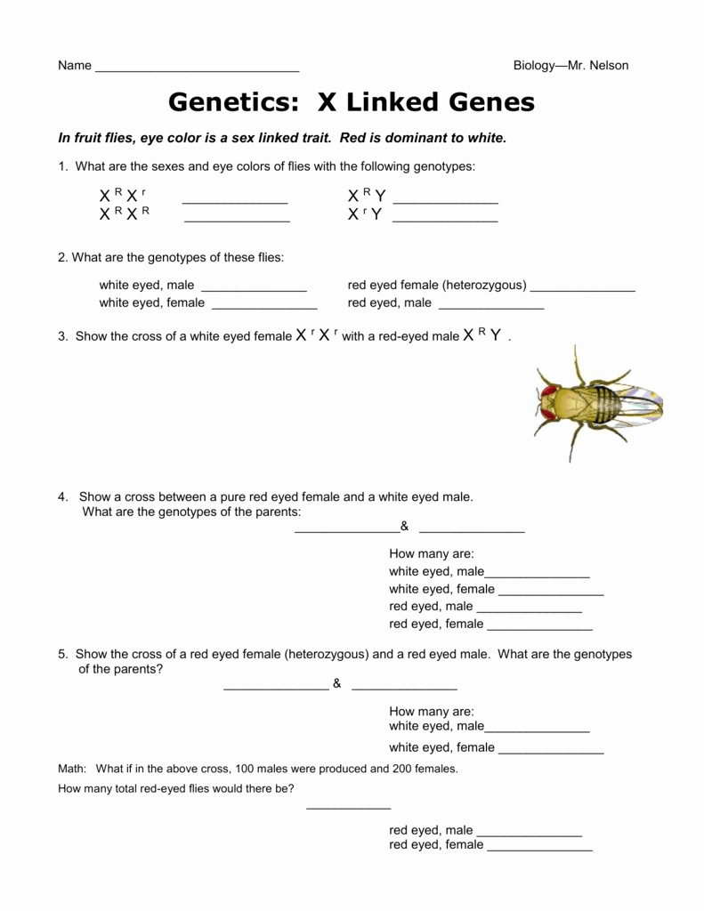 Genetics X Linked Genes Worksheet Lovely X Linked Traits Genetics Worksheetc