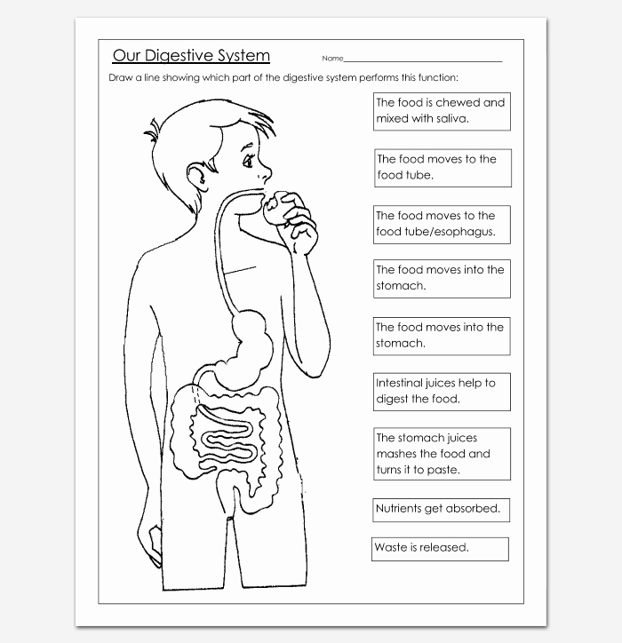 Human Digestive System Worksheet Beautiful Human Body Outline Template 32 Printable Worksheets