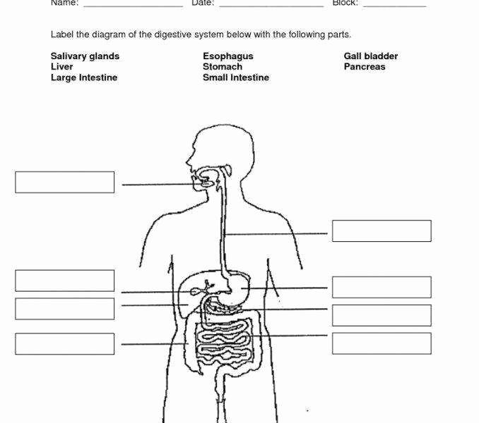 Human Digestive System Worksheet Best Of Digestive System Worksheet