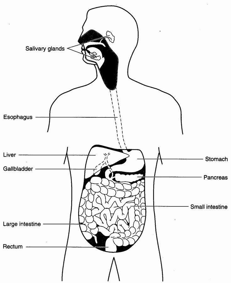 Human Digestive System Worksheet Elegant 101 Best Images About Human Body On Pinterest