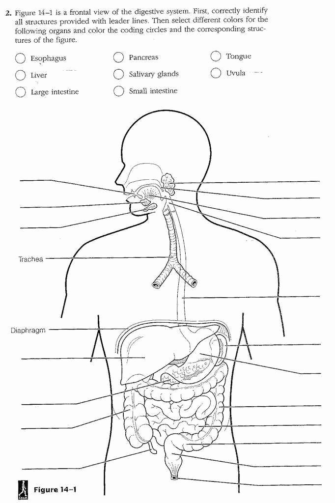 Human Digestive System Worksheet Inspirational Digestive System Worksheet