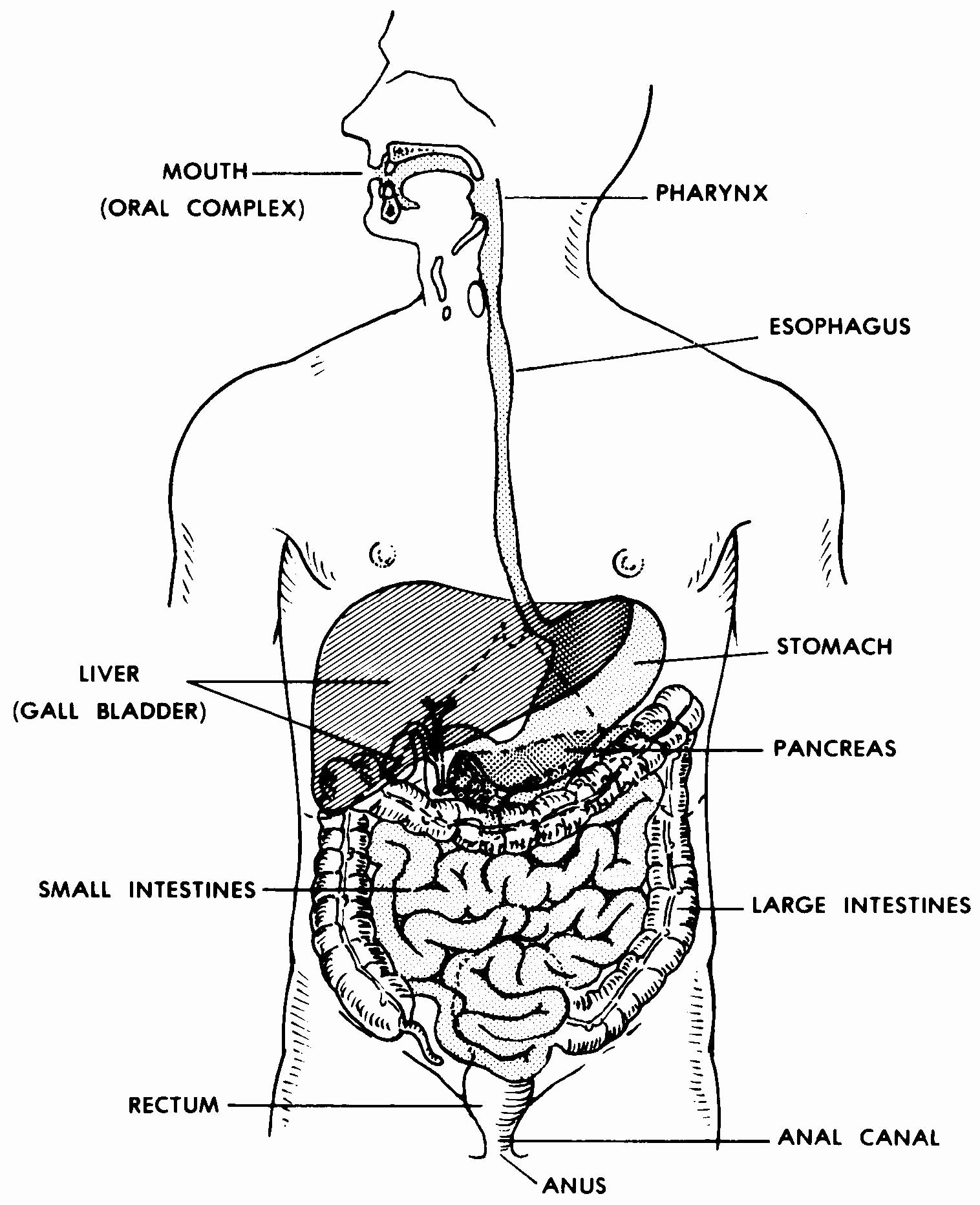 Human Digestive System Worksheet Inspirational Ic Bases Worksheet