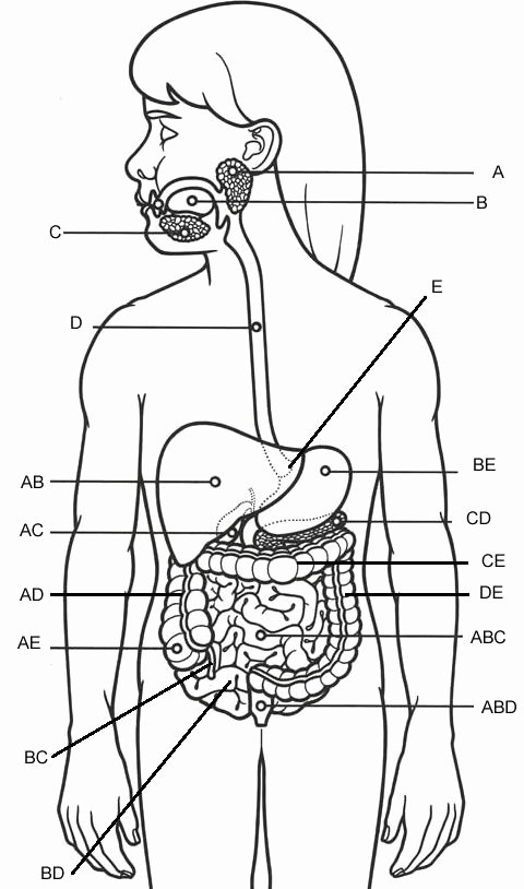 Human Digestive System Worksheet New Practice Labeling the organs Of the Digestive System