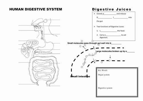Human Digestive System Worksheet Unique Digestive System organs and Digestion Summary by Jestill