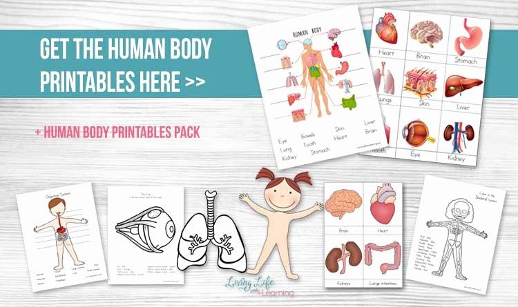 Inside the Living Body Worksheet Best Of Human Body Printables for Kids