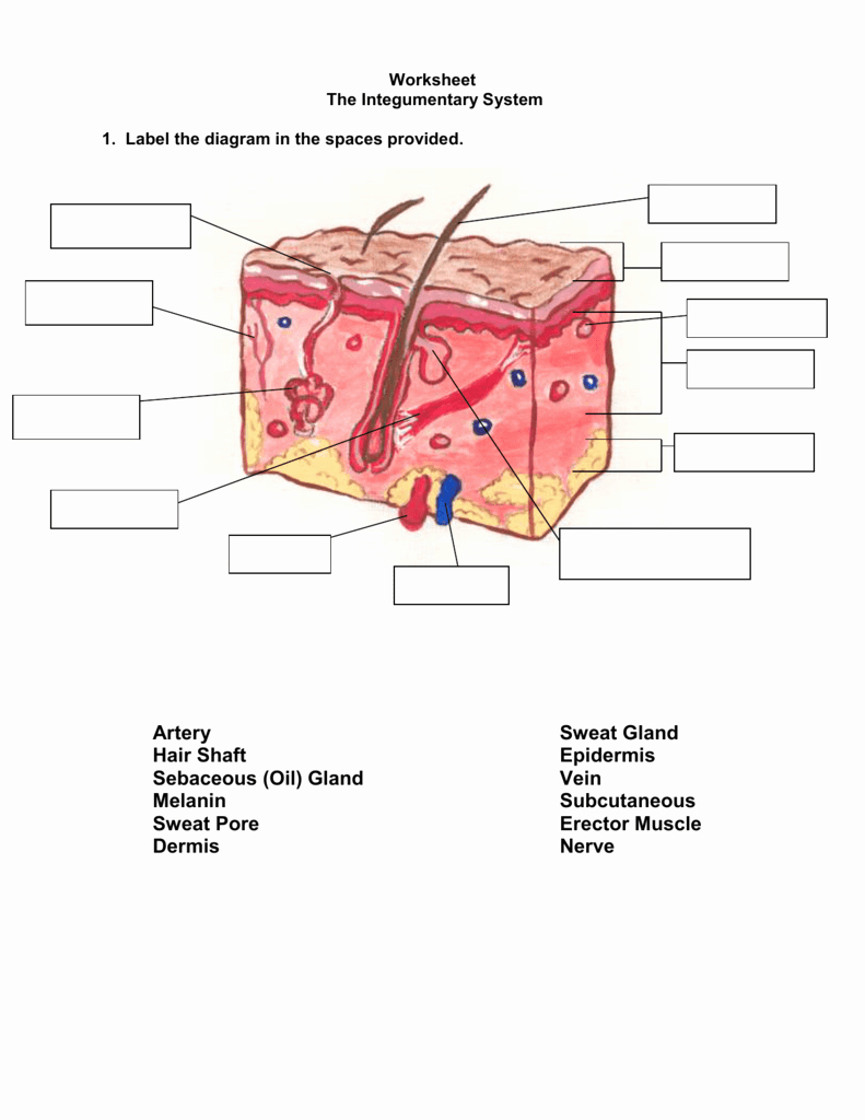 Integumentary System Worksheet Answers New Worksheet the Integumentary System Answer Key