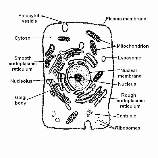 Label Plant Cell Worksheet New the Anatomy and Physiology Of Animals the Cell Worksheet