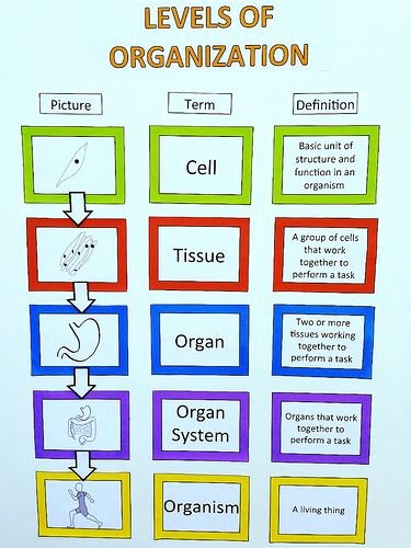 Level Of organization Worksheet Best Of Levels Of organization for Our Human Anatomy Unit