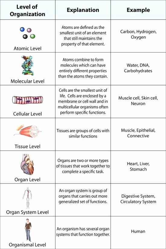 Levels Of Biological organization Worksheet Elegant Cells Tissues organs organ Systems Worksheet