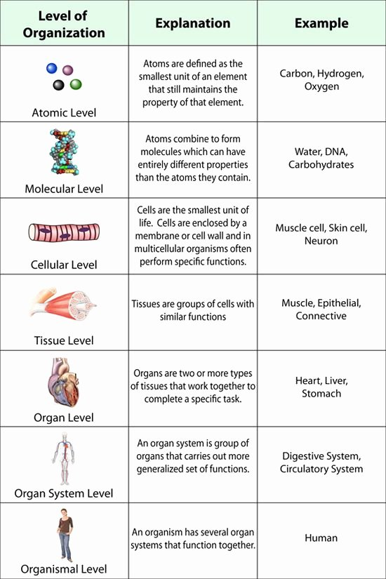 Levels Of Biological organization Worksheet Unique Level Of organization the Human Body