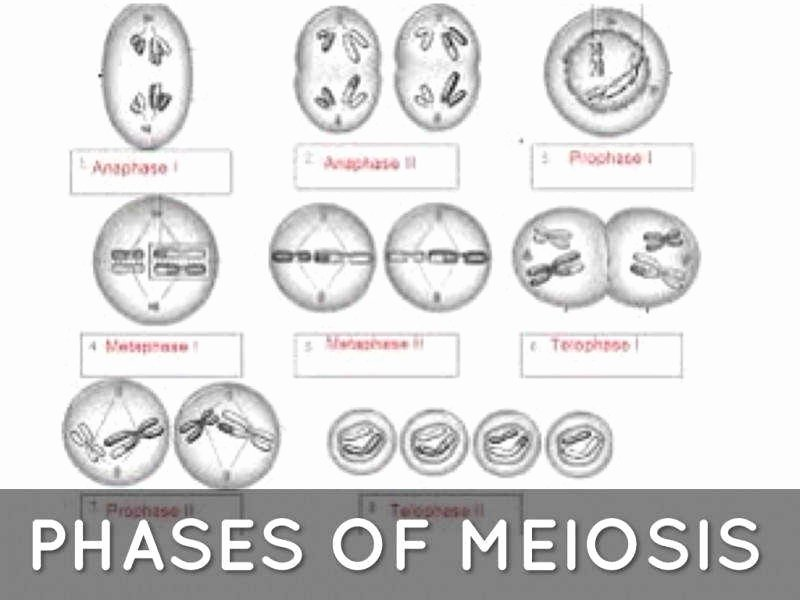 Meiosis Matching Worksheet Answer Key Luxury Phases Meiosis Worksheet