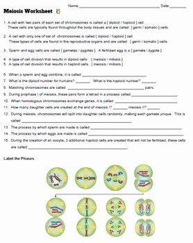 Meiosis Worksheet Vocabulary Answers Luxury Meiosis Worksheet Key by Biologycorner