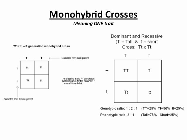 Monohybrid Crosses Worksheet Answers New Crosses and Pedigrees
