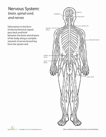 Nervous System Worksheet High School Awesome 50 Best Human Body Images On Pinterest