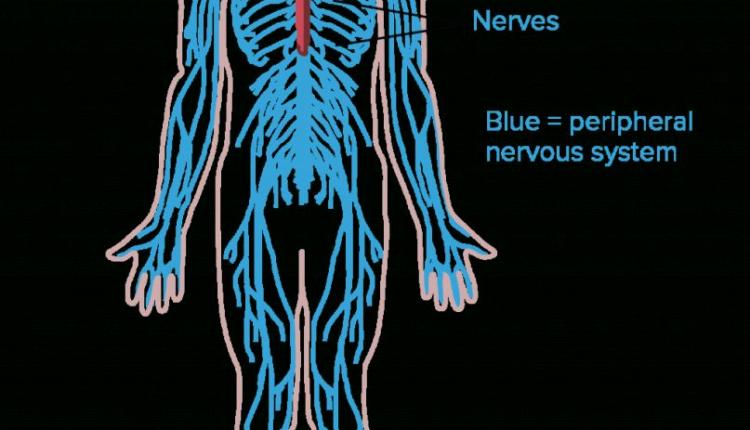 Nervous System Worksheet High School Best Of Our Review Of Overview Neuron Structure and Function