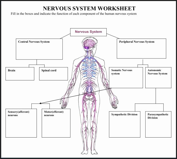 Nervous System Worksheet High School Fresh A Variety Of Materials for 3rd 12th Grades Download Club
