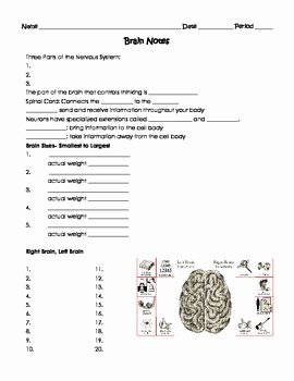 Nervous System Worksheet High School Inspirational Human Body the Nervous System Worksheet by Sweet D
