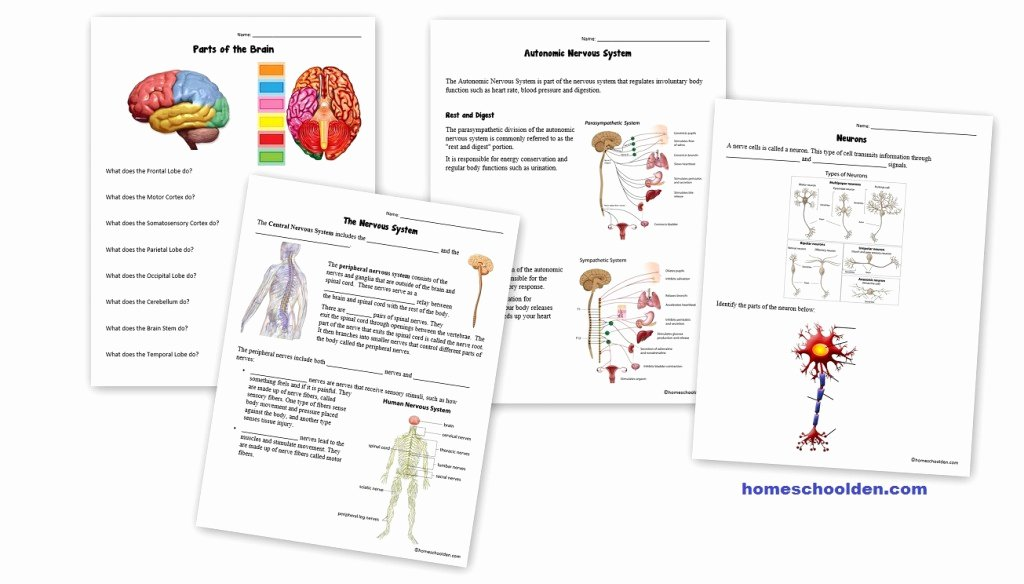 Nervous System Worksheet High School Lovely Nervous System Worksheets Free Homeschool Den
