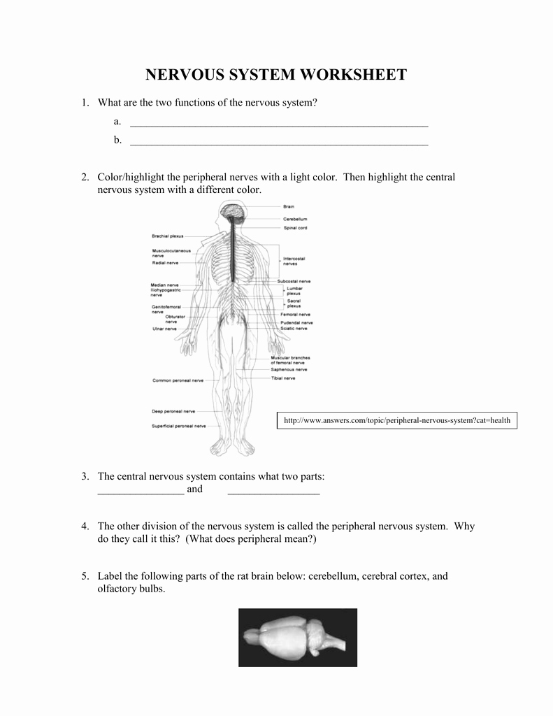 Nervous System Worksheet High School Lovely Worksheet the Nervous System Worksheet Worksheet Fun
