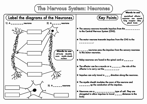 Nervous System Worksheet High School Luxury Gcse Worksheets On the Nervous System by Beckystoke