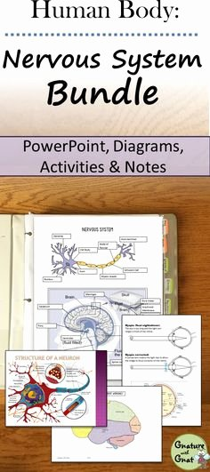 Nervous System Worksheet High School Luxury Nervous System Worksheet