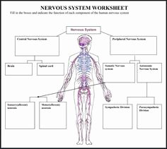 Nervous System Worksheet High School New Central Nervous System Worksheet Coloring Page