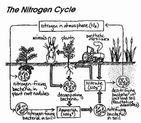 Nitrogen Cycle Worksheet Answer Key Lovely Nitrogen Cycle Worksheet