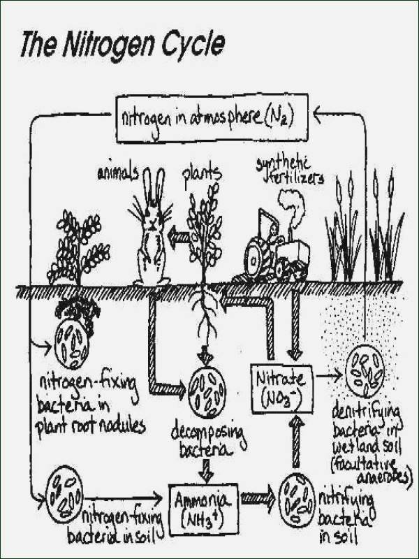 Nitrogen Cycle Worksheet Answers Lovely Phases the Cell Cycle Worksheet Answer Key