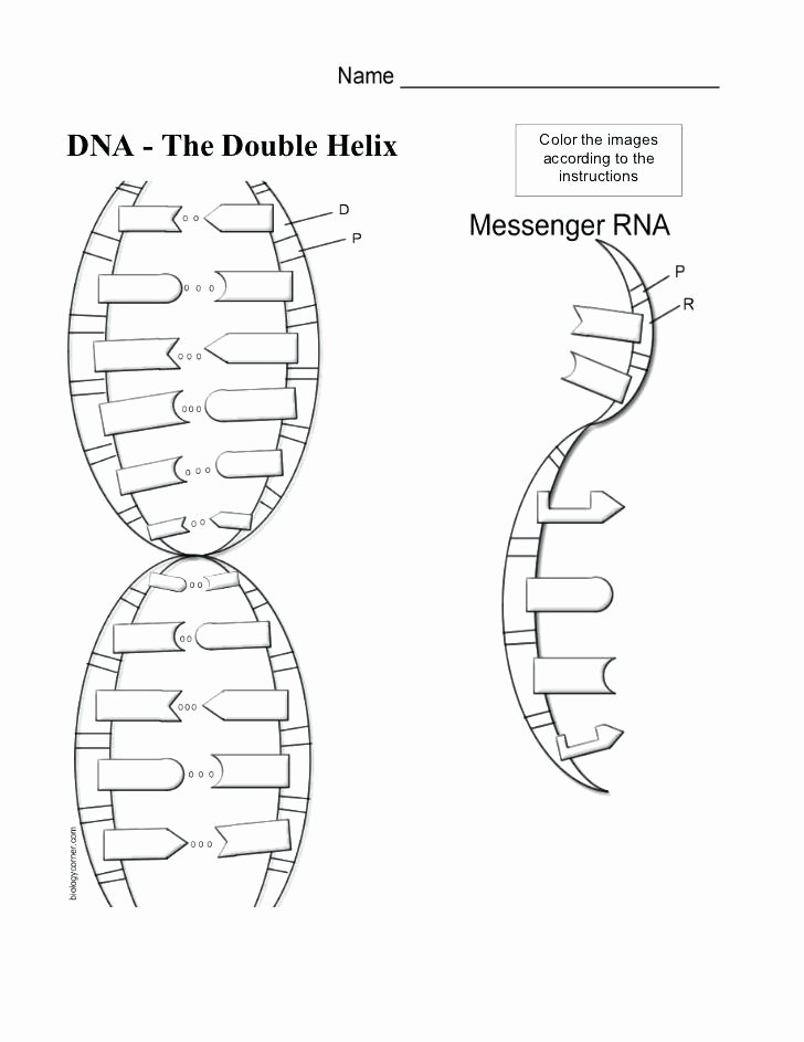 Nucleic Acids Worksheet Answers Best Of Nucleic Acids Dna the Double Helix Worksheet Answers the