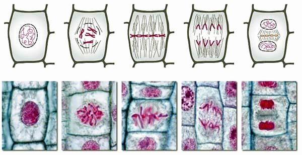 Onion Cell Mitosis Worksheet Answers Elegant Investigation Mitosis and Cancer