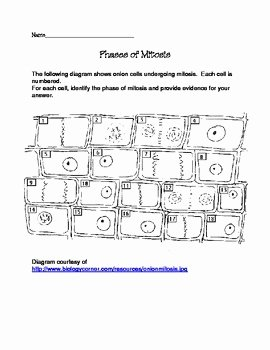 Onion Cell Mitosis Worksheet Answers Luxury Phases Of Mitosis Worksheet by Science with Mrs K