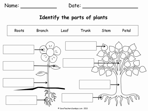 Parts Of A Tree Worksheet Luxury Parts Of A Plant & A Tree Lesson Plan & Worksheet by