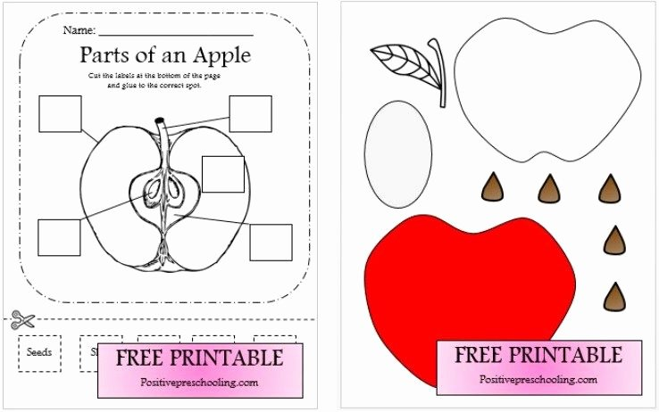 Parts Of An Apple Worksheet Elegant Apple Dissection Worksheet and Puzzle Free Download