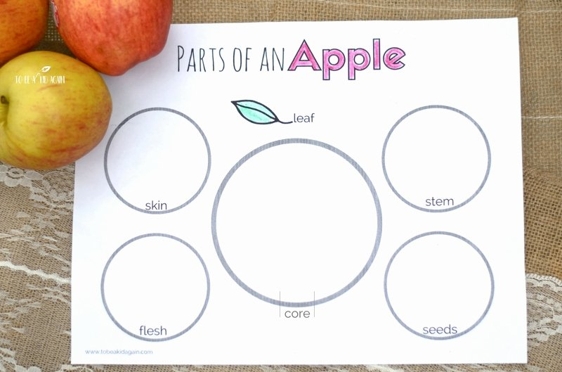 Parts Of An Apple Worksheet Fresh Parts Of An Apple Activity Free Printable Creative
