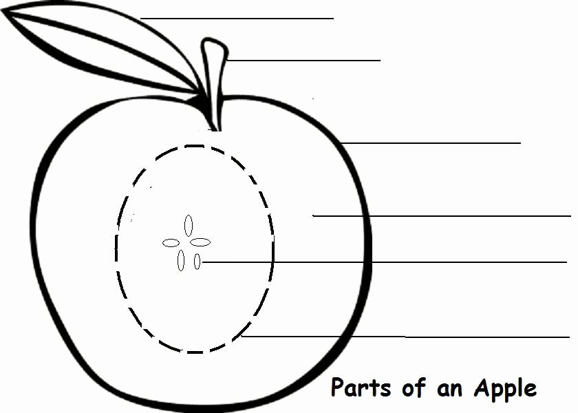 Parts Of An Apple Worksheet Inspirational Parts Of An Apple Learning Activity