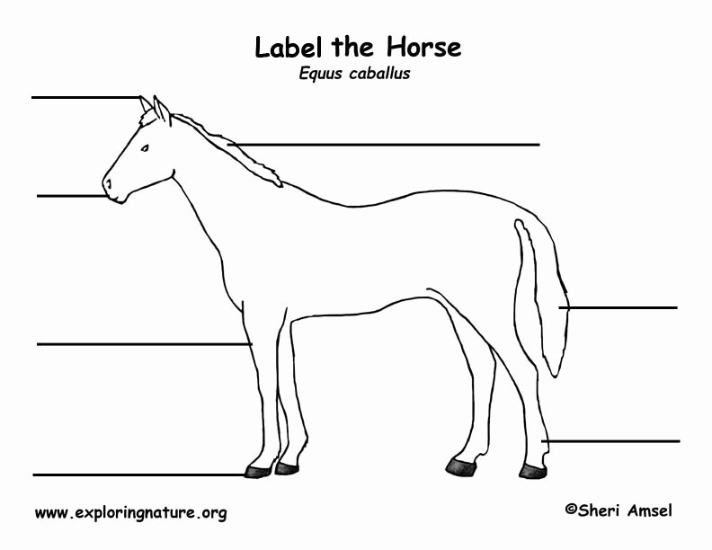 Parts Of the Horse Worksheet Best Of Horse