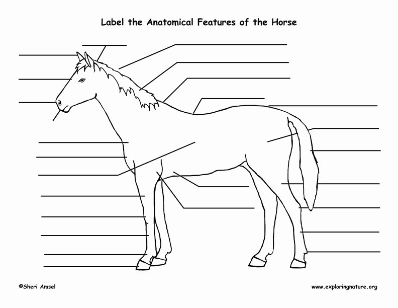 Parts Of the Horse Worksheet Lovely Horse