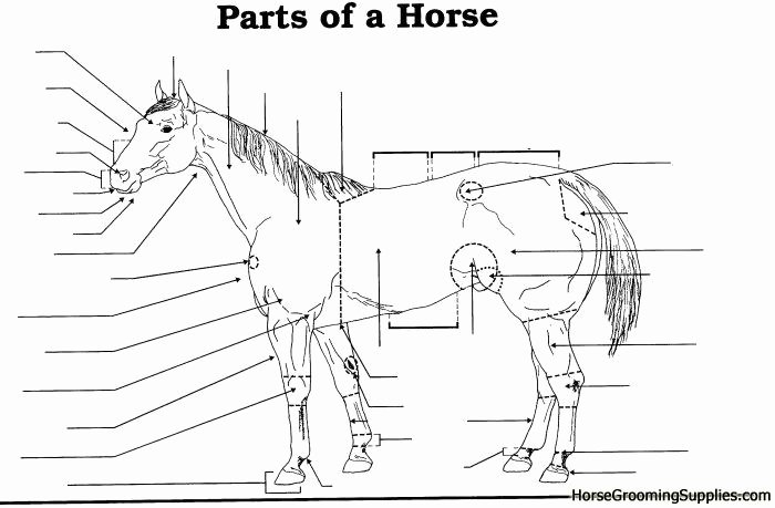 Parts Of the Horse Worksheet Luxury 15 Best Of Parts the Horse Worksheet Anatomy