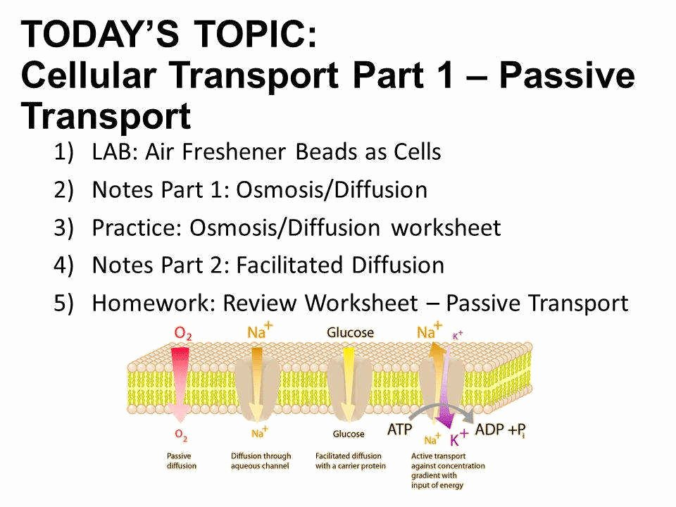 Passive Transport Worksheet Answers Fresh Cellular Transport Worksheet