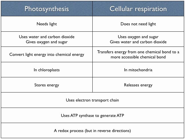 Photosynthesis and Cellular Respiration Worksheet Unique Synthesis and Cellular Respiration Worksheet