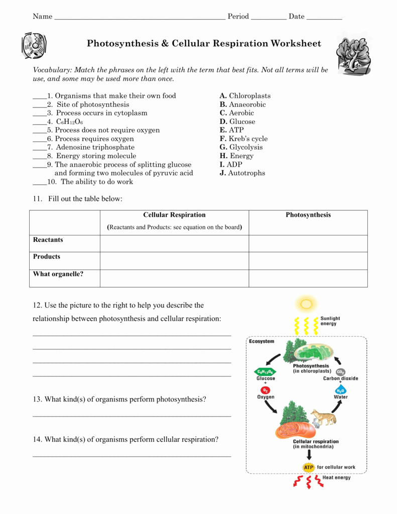 Photosynthesis and Respiration Worksheet Answers Best Of Synthesis & Cellular Respiration Worksheet