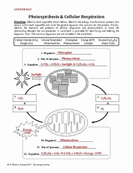 Photosynthesis and Respiration Worksheet Answers Best Of Synthesis and Cellular Respiration Worksheet by A