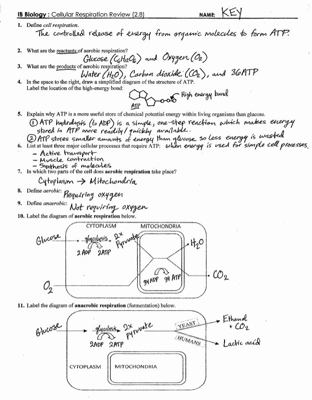 Photosynthesis and Respiration Worksheet Answers New Ib Respiration Review Key 2 8