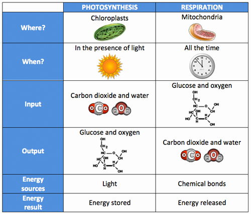 Photosynthesis and Respiration Worksheet Fresh Franklin Hs Academy Biology April 2016