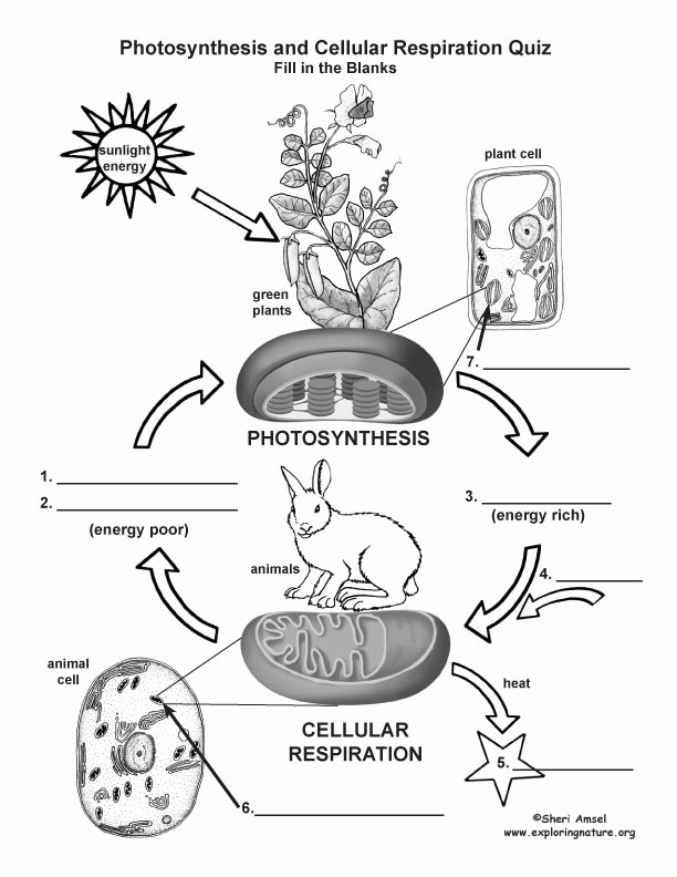 Photosynthesis Diagrams Worksheet Answers Fresh Synthesis & Cellular Respiration