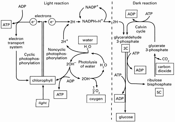 Photosynthesis Diagrams Worksheet Answers Lovely Synthesis