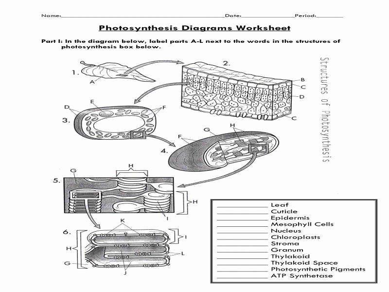 Photosynthesis Diagrams Worksheet Answers Luxury Synthesis Diagrams Worksheet