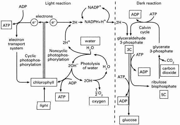 Photosynthesis Diagrams Worksheet Answers New Synthesis Diagrams Worksheet