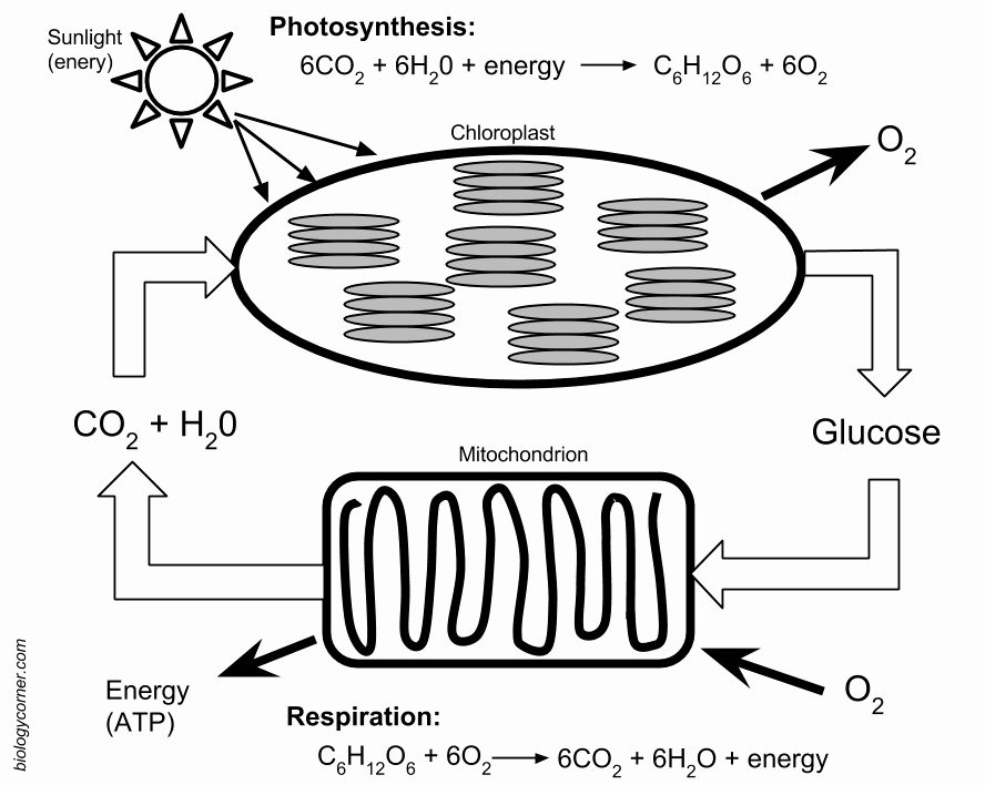 Photosynthesis Worksheet Answer Key New Synthesis and Respiration Model